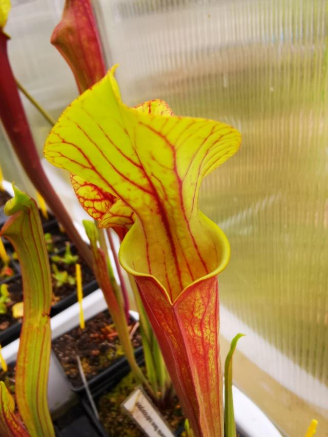 Échange Sarracenia et dionaea MAJ Img_2025