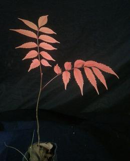 Primer bonsai a partir de plantín de Rhus Bonsai10