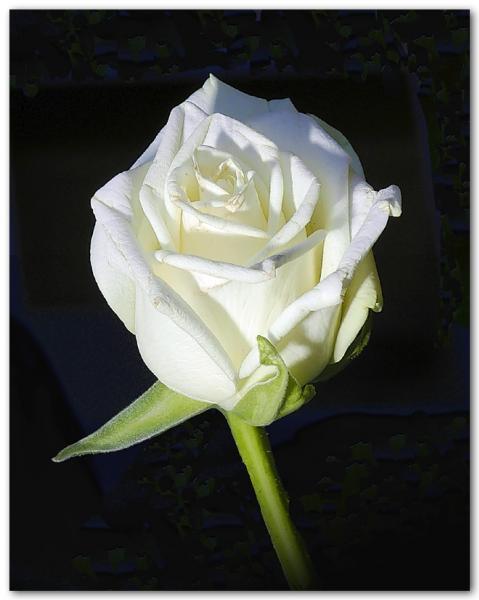 Journée des bisous et des calins Rose-b10