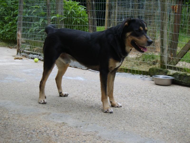 BEUCK - x labrador/beauceron 12 ans (10 ans de refuge) - Refuge Clochards Poilus à Tabanac (33) S8300422