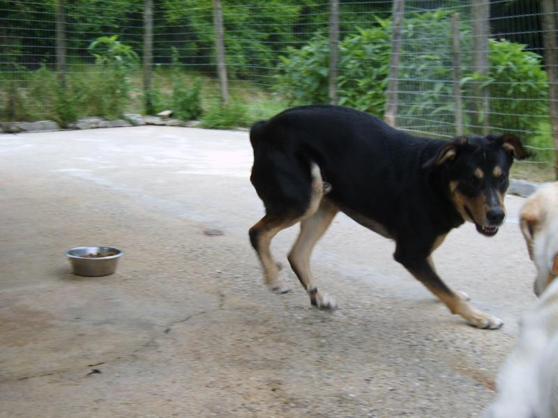 BEUCK - x labrador/beauceron 12 ans (10 ans de refuge) - Refuge Clochards Poilus à Tabanac (33) S8300423