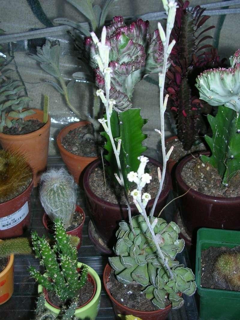 Lithops en fleurs Dscn4713