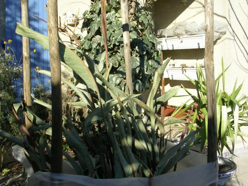 Bilan hiver 2011/2012 : les plantes  après cette vague de froid Dscn5010
