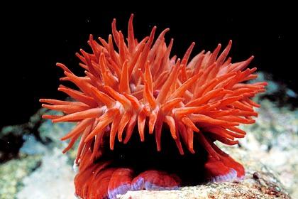 Anémone de mer Anemon10