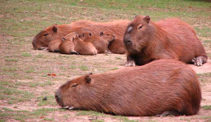 Le cabiaï ou capybara Bb10