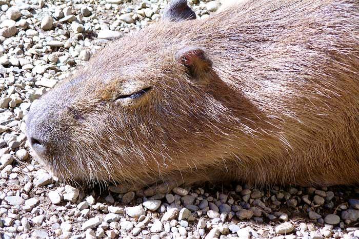 Le cabiaï ou capybara Bb11