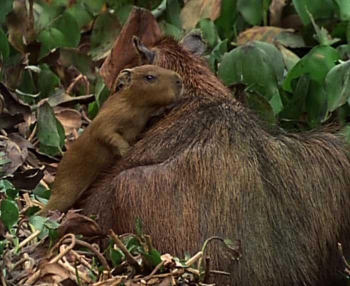 Le cabiaï ou capybara Bb12