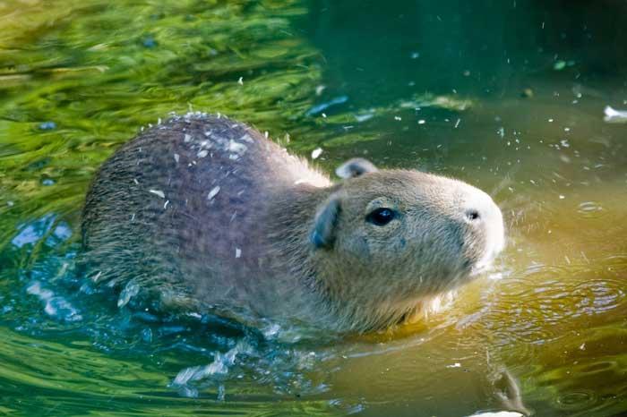 Le cabiaï ou capybara Bb13