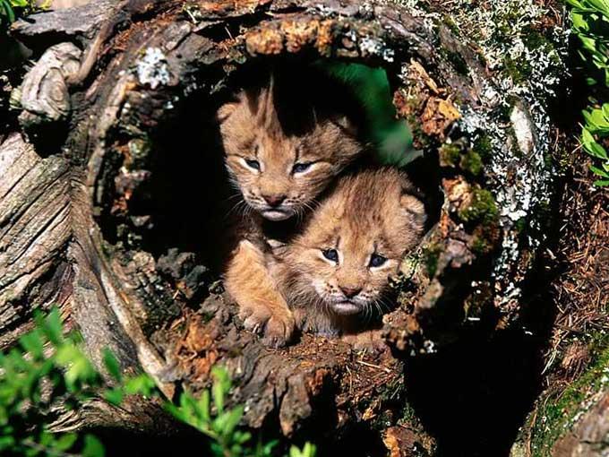 le lynx Bebe_l14