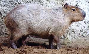 Le cabiaï ou capybara Cabiai10