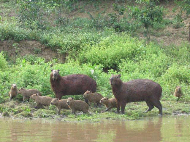 Le cabiaï ou capybara Capyba10