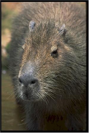 Le cabiaï ou capybara Capyba11