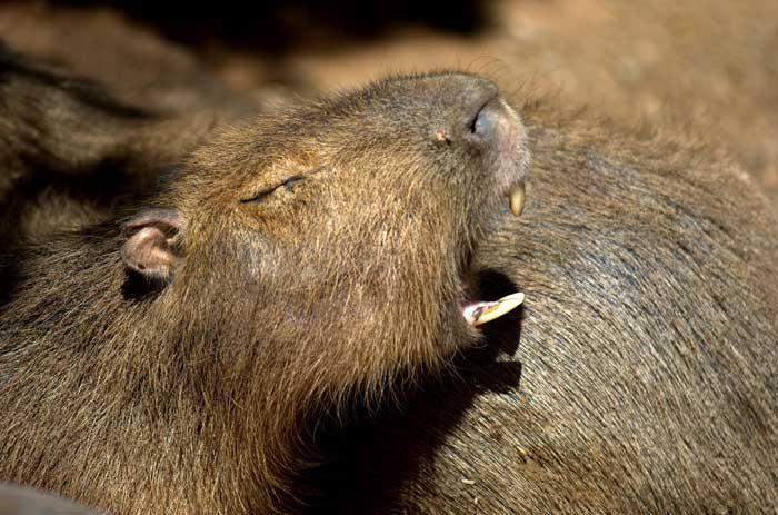 Le cabiaï ou capybara Dent11