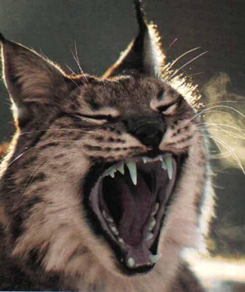 le lynx Dents10