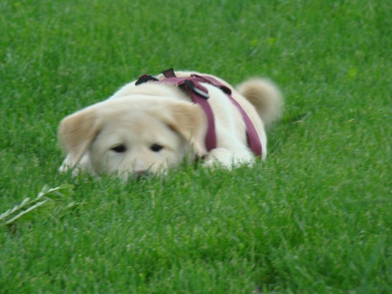 Le labrador (avec video et photos de Djuna) Dsc01411