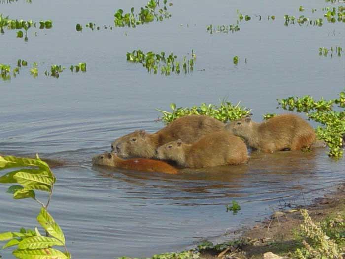 Le cabiaï ou capybara Eau10