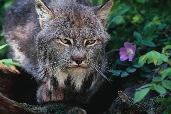 le lynx Lynx_c10