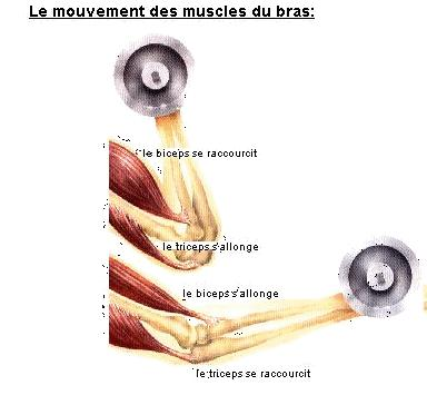 le muscle Muscle10