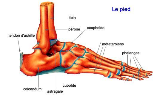 Le pied Os_du_10