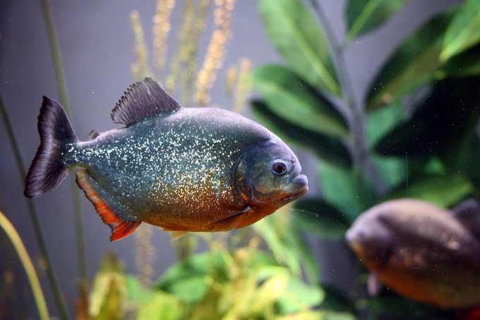 Le piranha Piranh10