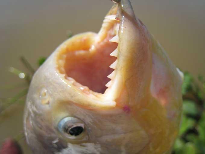Le piranha Piranh12