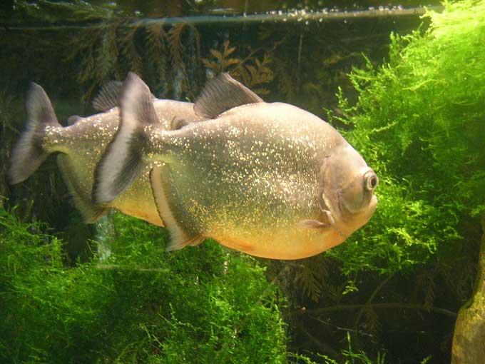 Le piranha Piranh13