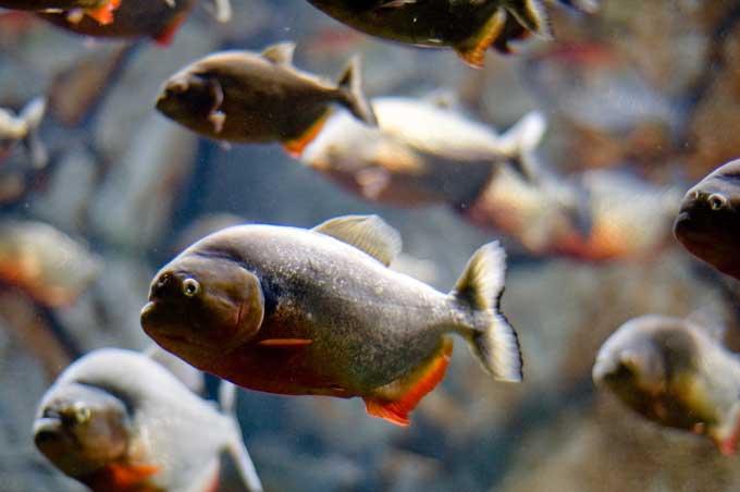 Le piranha Piranh14