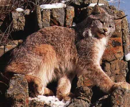 le lynx Sans_t24