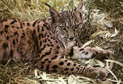 le lynx Sans_t26