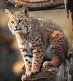le lynx Sans_t27