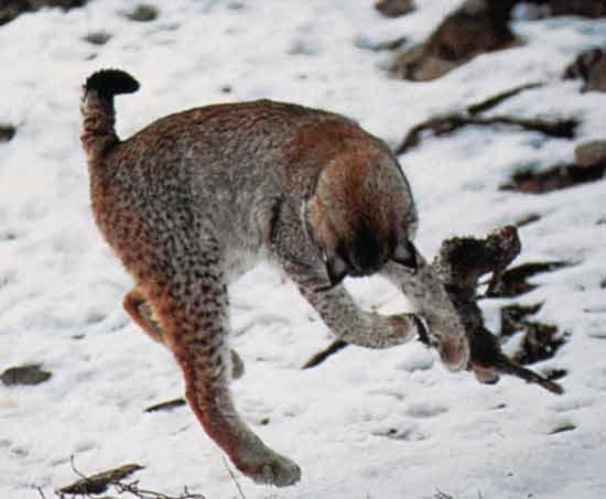 le lynx Sans_t32