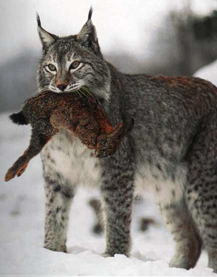 le lynx Sans_t33