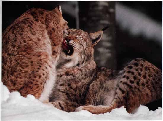 le lynx Sans_t34