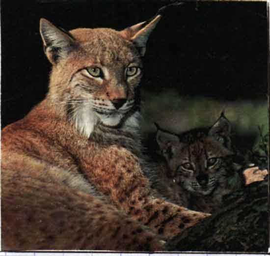 le lynx Sans_t35