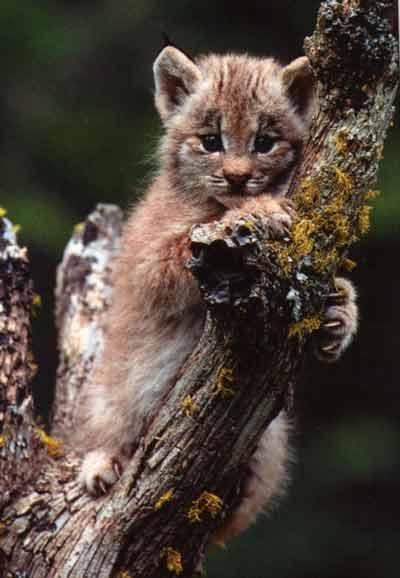 le lynx Sans_t37