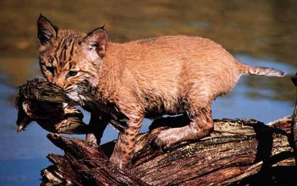 le lynx Sans_t38