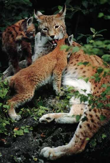 le lynx Sans_t39