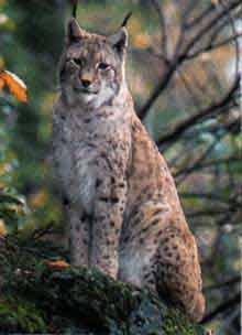 le lynx Sans_t40