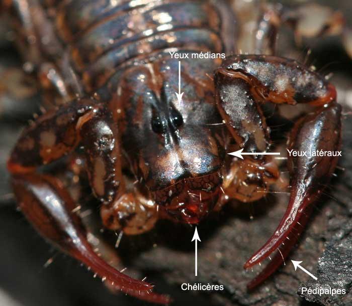 Scorpion Scorpi12