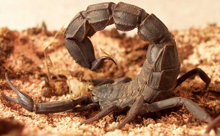 Scorpion Scorpi13