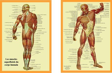le muscle Spiera10