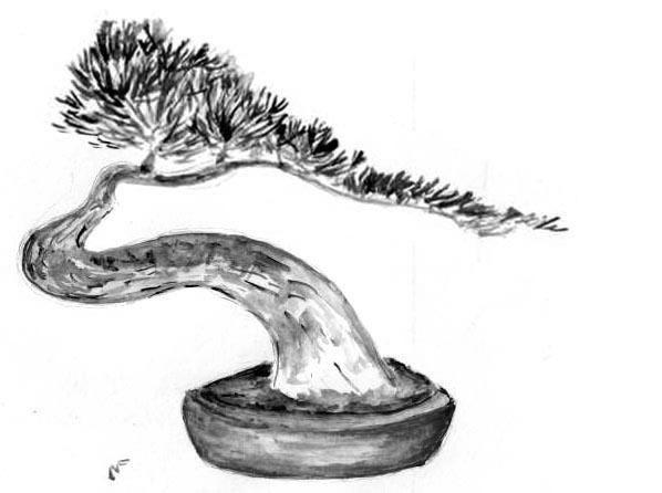 évolution d'un pin mugo Pinpat11