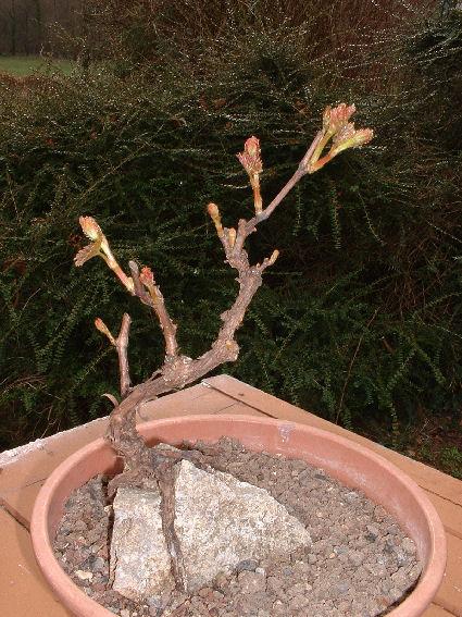 Evolution d'une vigne de muscat. Copie_54