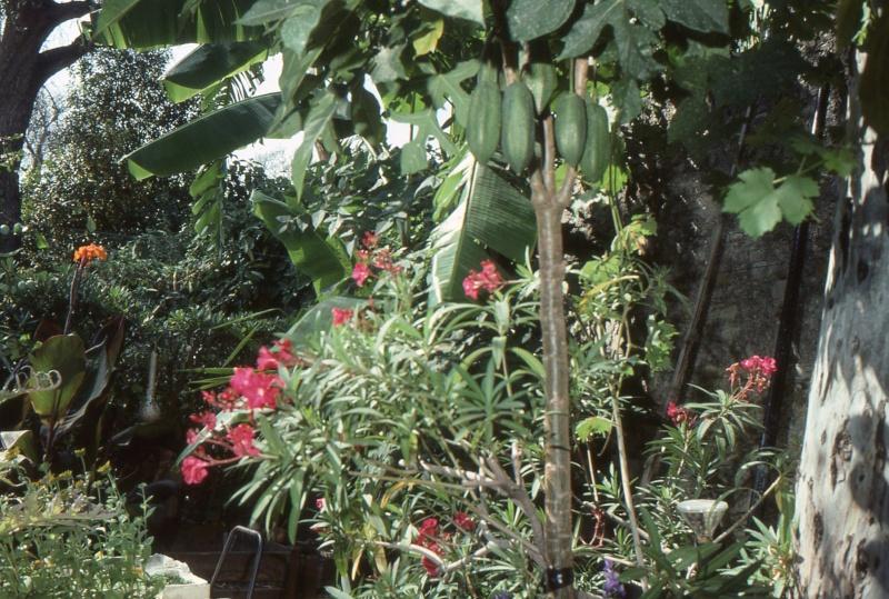 Saison de maturité du babaco 1990_j11