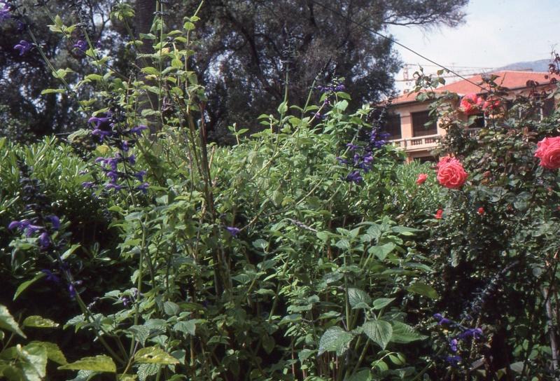 Quiz rose - Salvia involucrata et collection 1992_m10