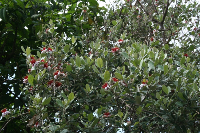 Acca sellowiana ou Feijoa , tout pour plaire - Page 2 Acca_s11