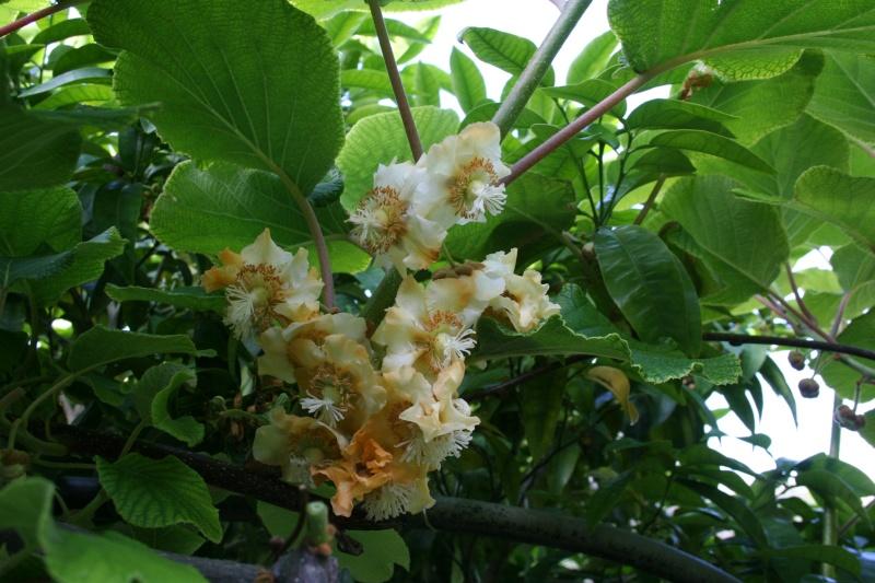 Fleurs de ' Kiwi ' Actini12