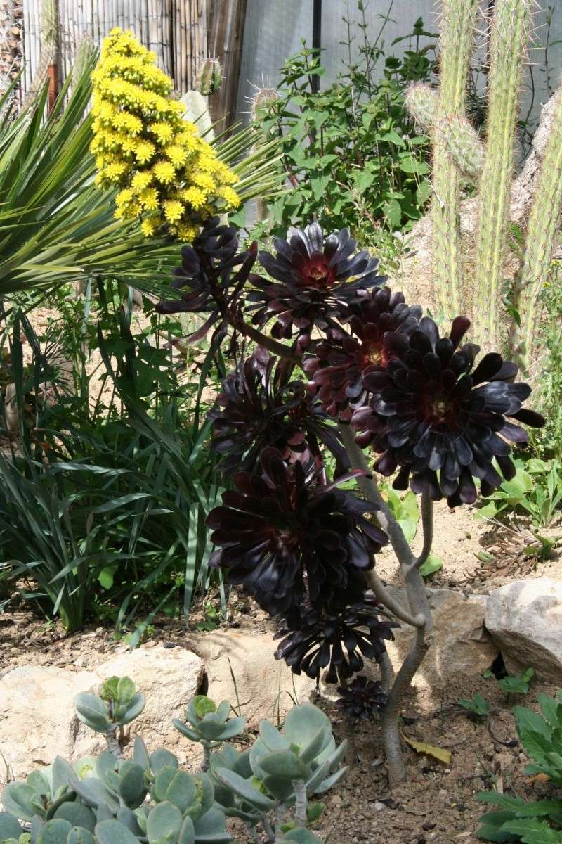 Aeonium ' Schwartzkopf ' qui prépare une hampe florale, malgré le froid Aeoniu30