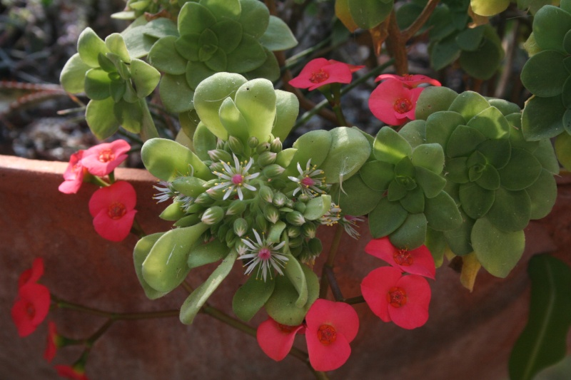 Aeonium ' Schwartzkopf ' qui prépare une hampe florale, malgré le froid Aeoniu31