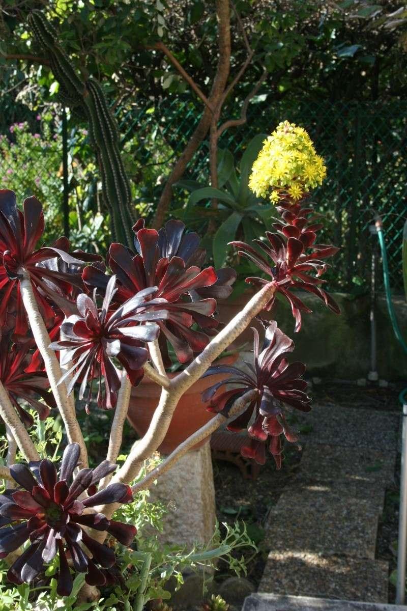 Aeonium ' Scwartzkopf ' en fleurs Aeoniu32